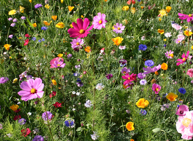 Flower Seed Mixes and Blends