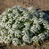 Alyssum Sweet Carpet Of Snow