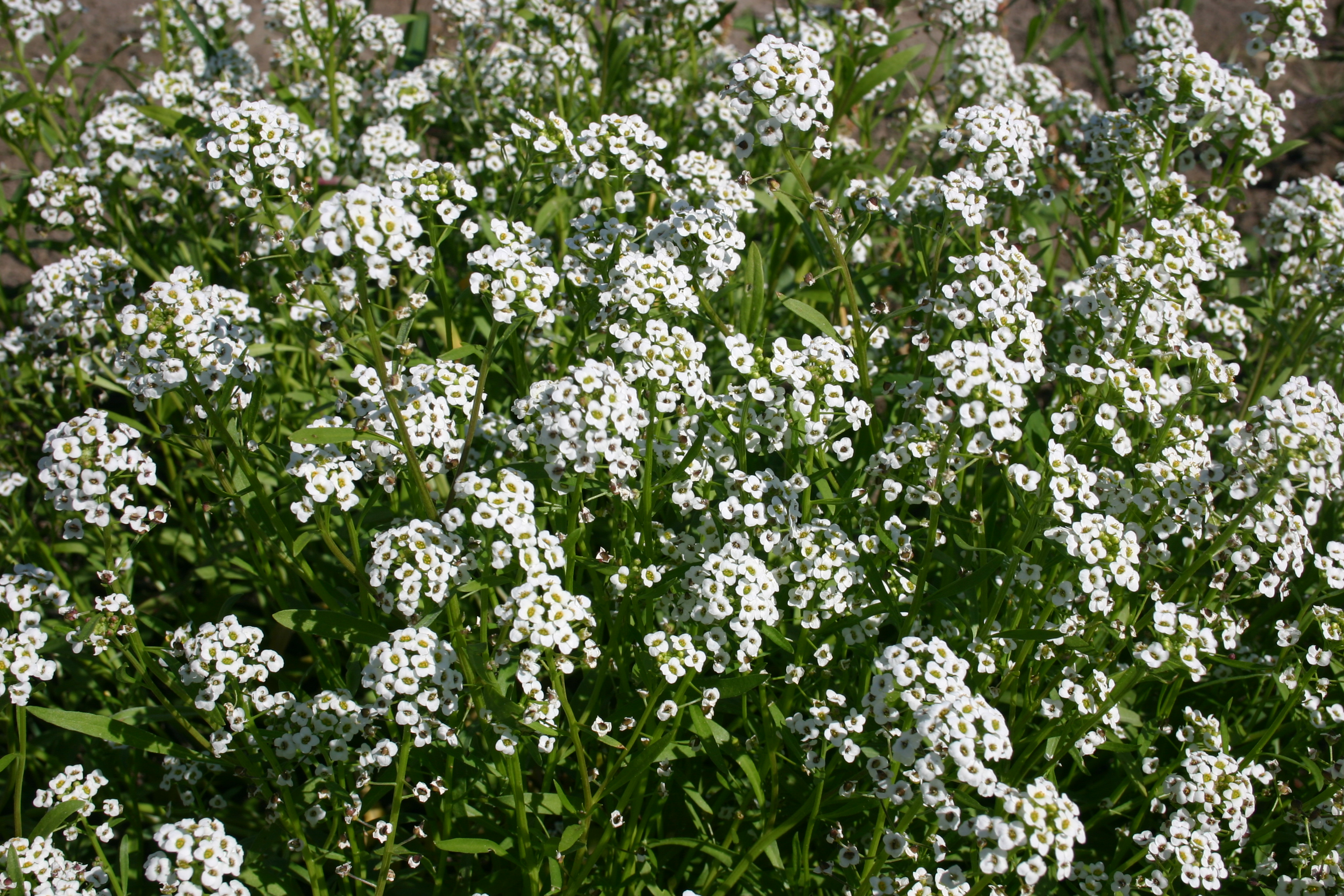 Alyssum Sweet Tall White Oregon Wholesale Seed Company
