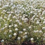 Alyssum Sweet Tall White