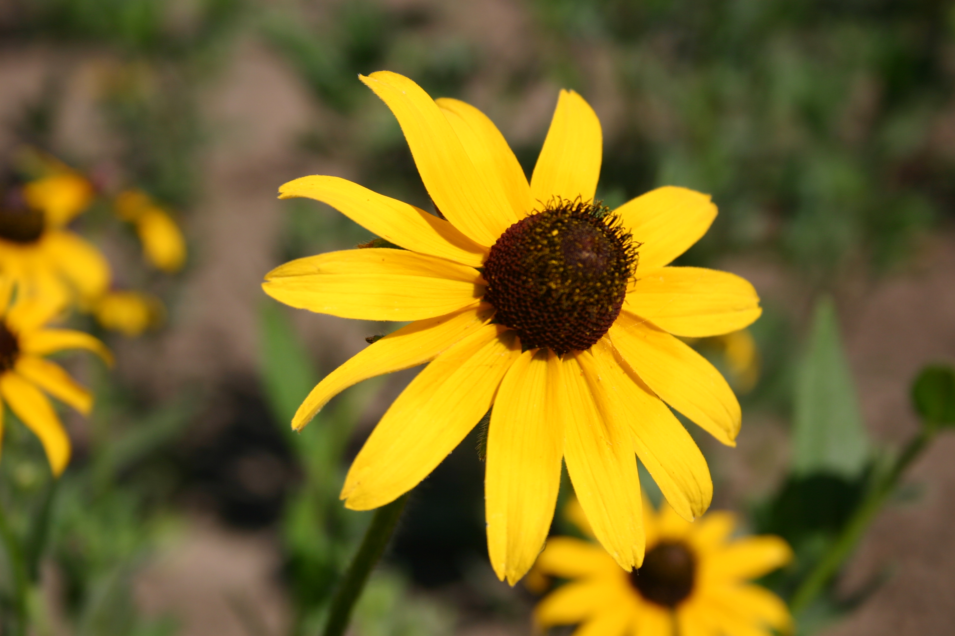 Black Eyed Susan Oregon Wholesale Seed Company