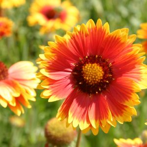 Blanketflower Indian Perennial