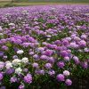 Candytuft Mix