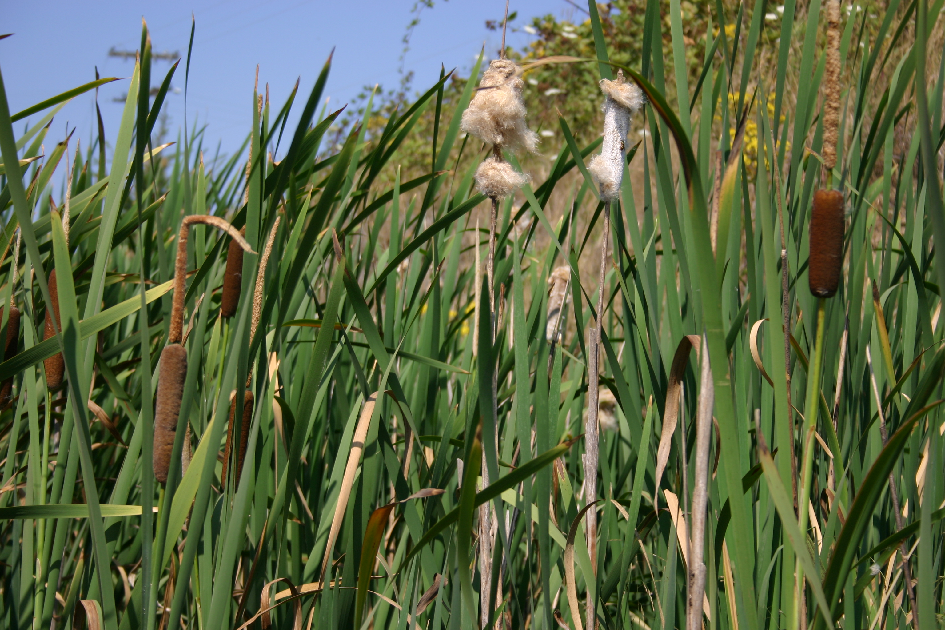 cattail oregon wholesale seed company