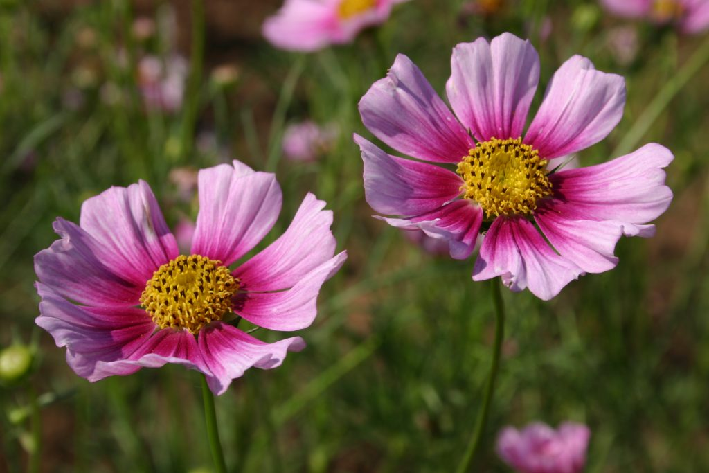 Cosmos bipinnatus Xsenia   White Flower Farm