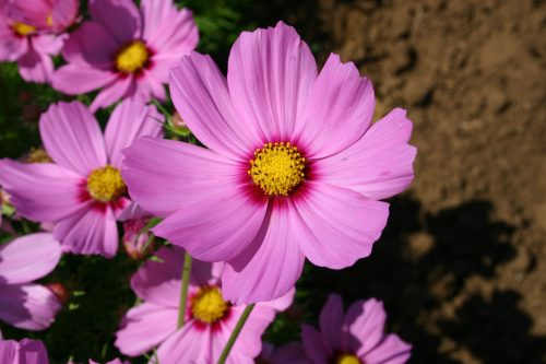 Cosmos Bip. Dwarf Pink w/Red Center