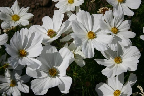 Cosmos Bip. Dwarf White