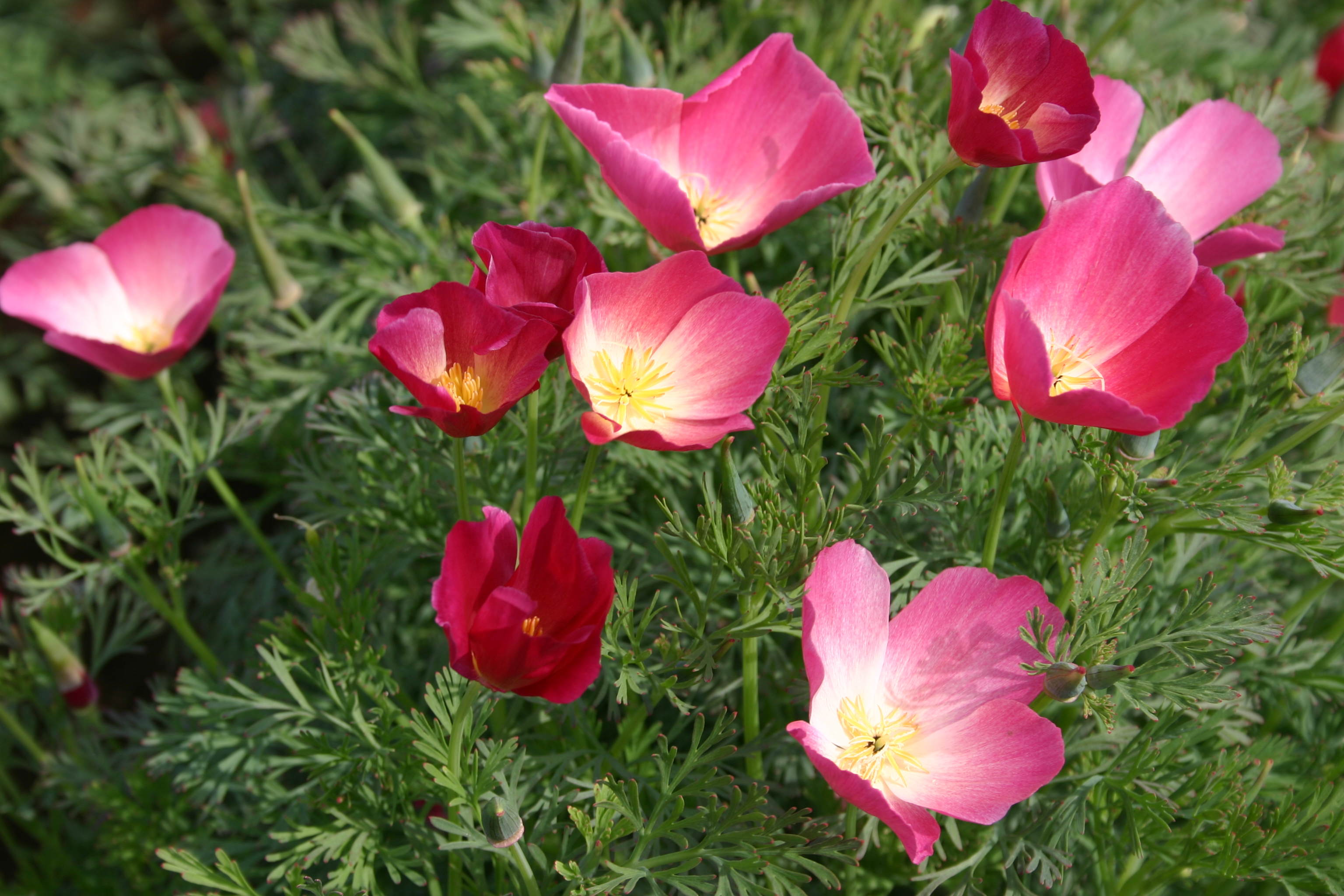 Poppy California Carmine Oregon Wholesale Seed Company