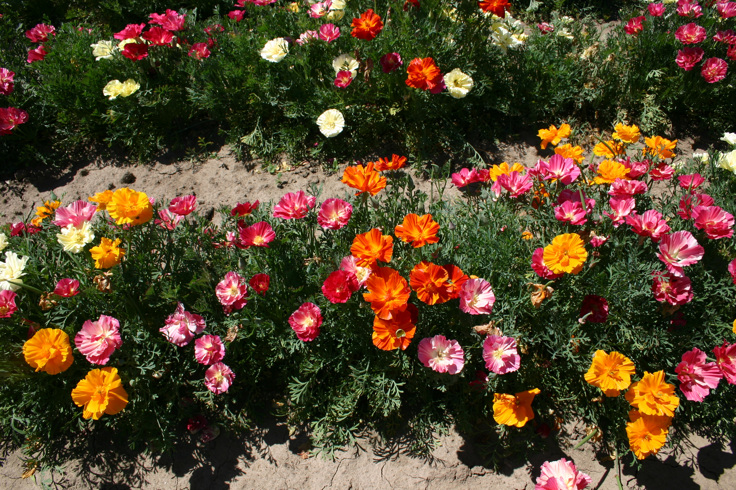 Poppy California Mission Bell Mix Oregon Wholesale Seed Company