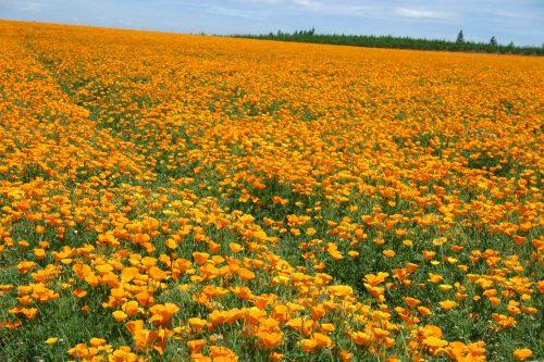Poppy California Orange