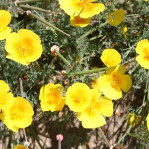 Poppy California Perennial