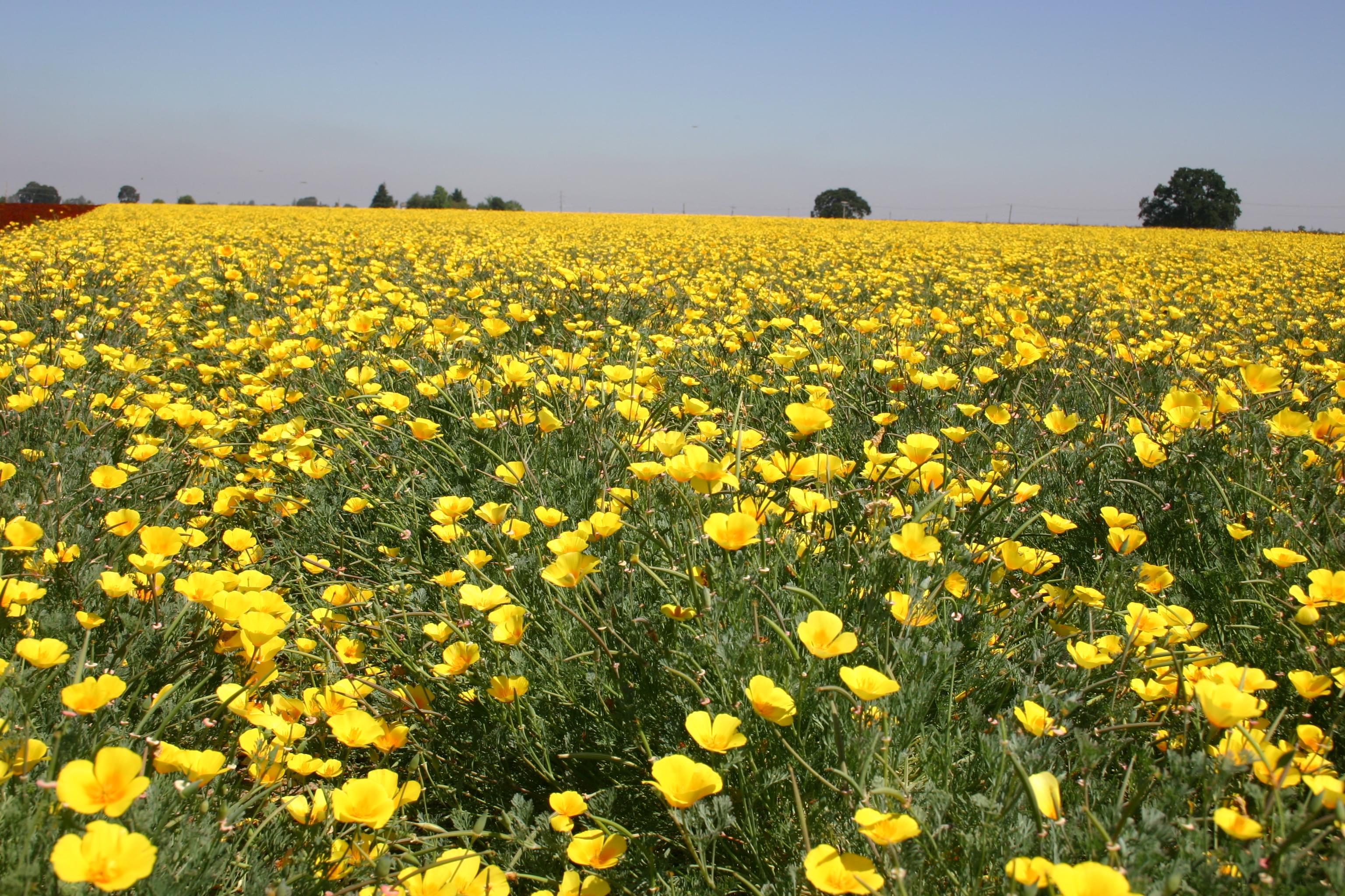 Poppy California Perennial Oregon Wholesale Seed Company