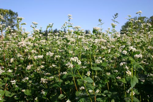 Buckwheat