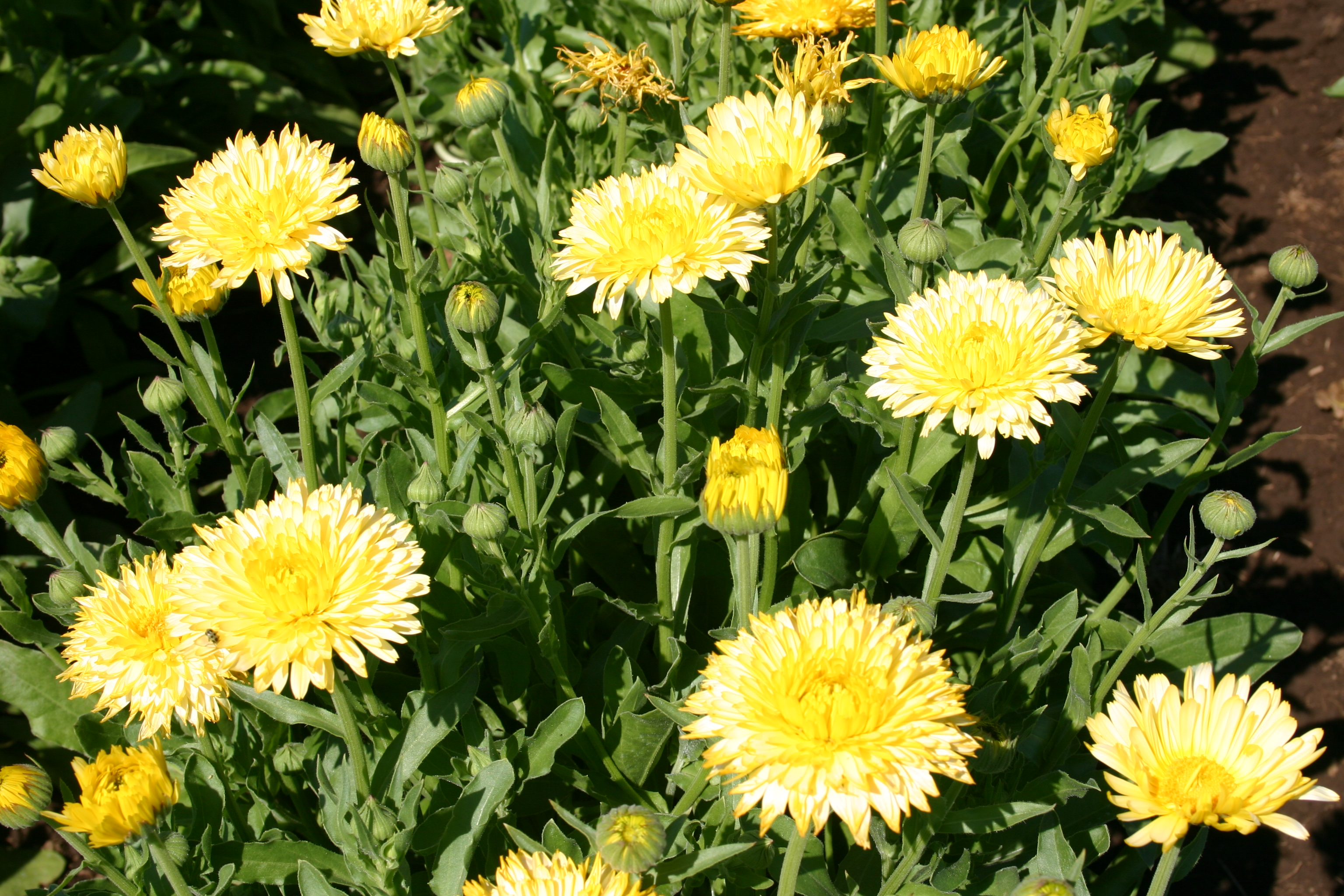 Calendula Pacific Beauty Cream Oregon Wholesale Seed Company