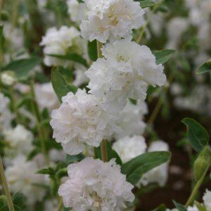 Clarkia Elegant Double White