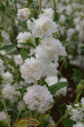 Clarkia Elegant White