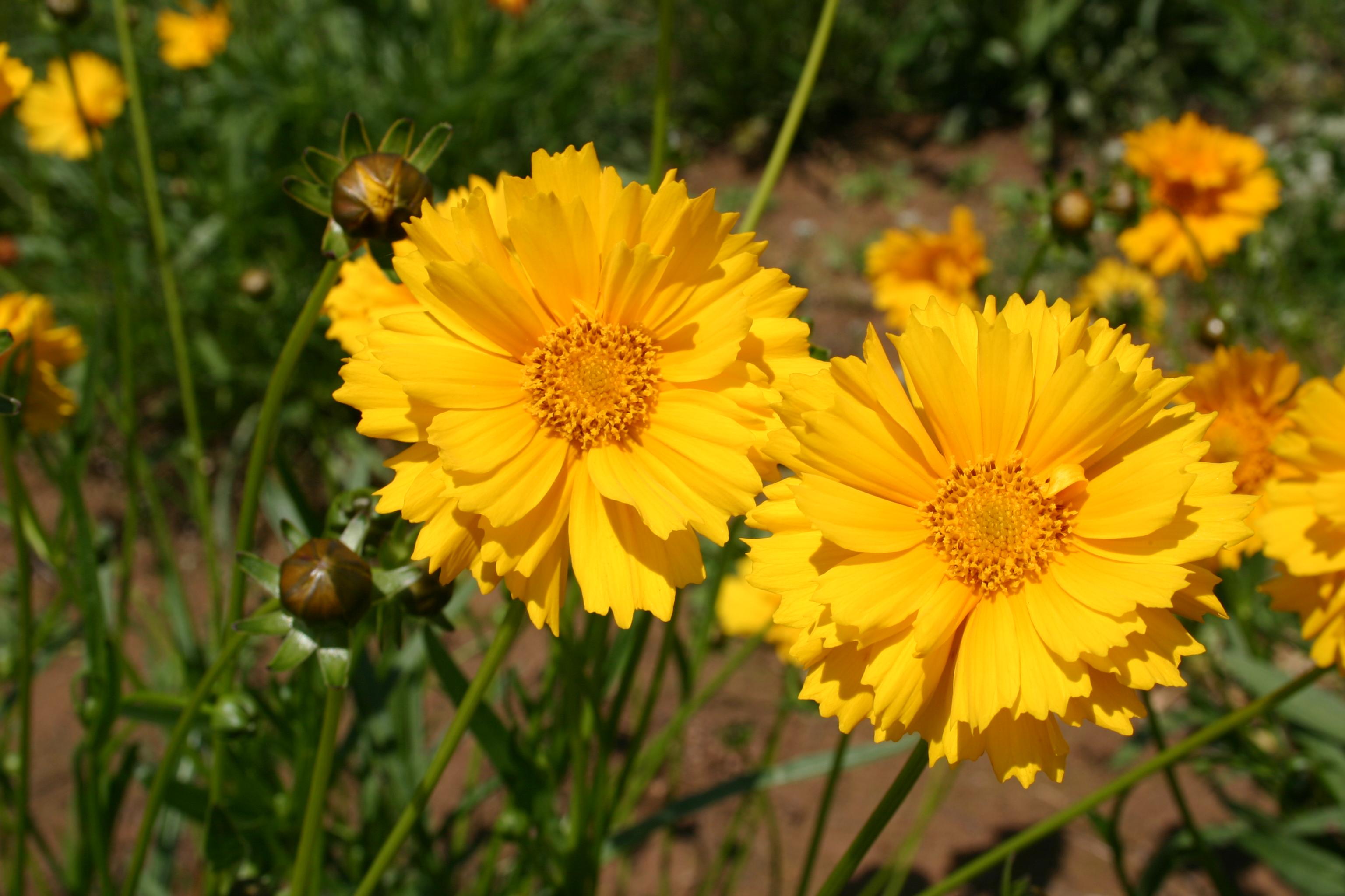 Coreopsis Lance Leaved Oregon Wholesale Seed Company