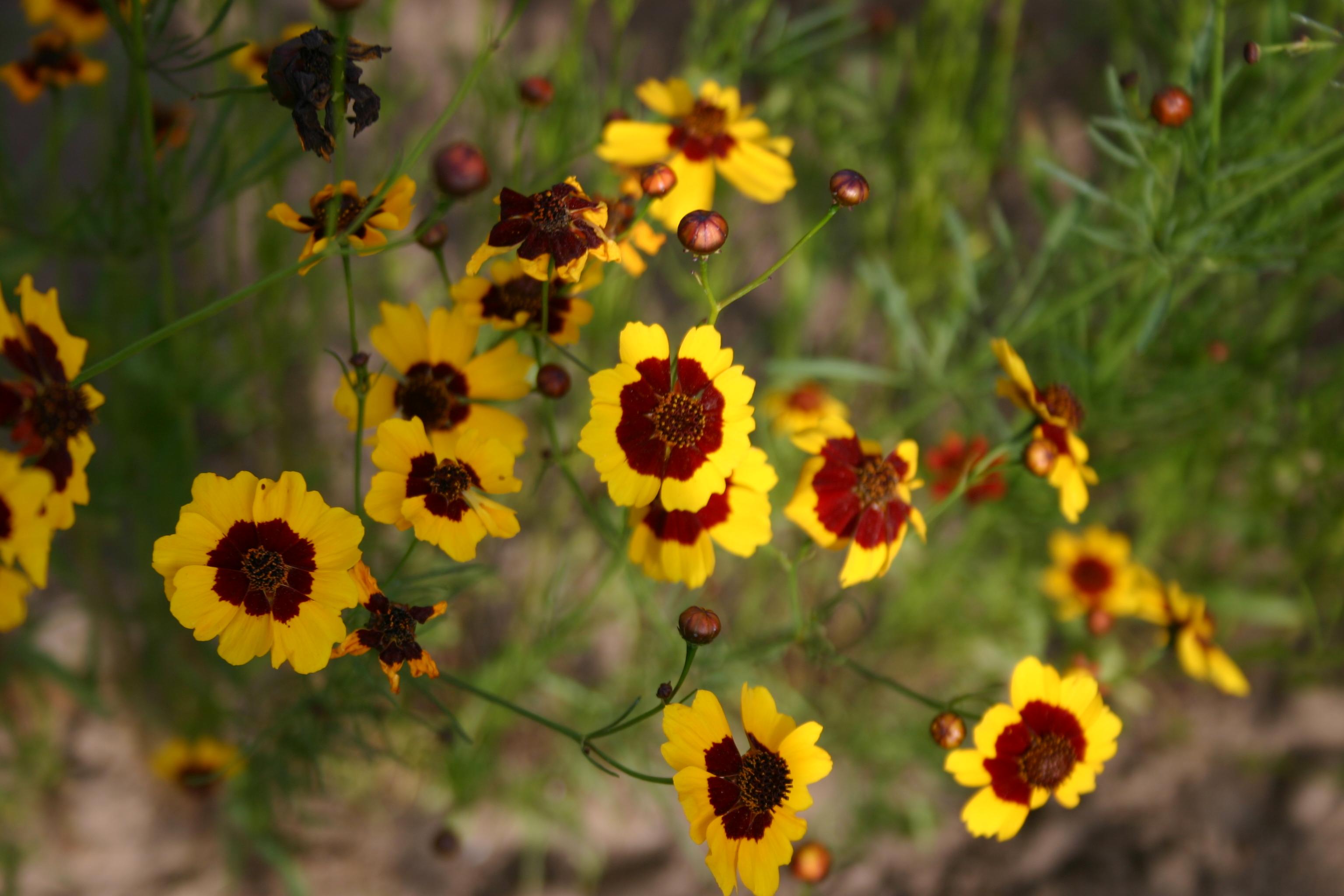 Coreopsis Plains Tall Oregon Wholesale Seed Company