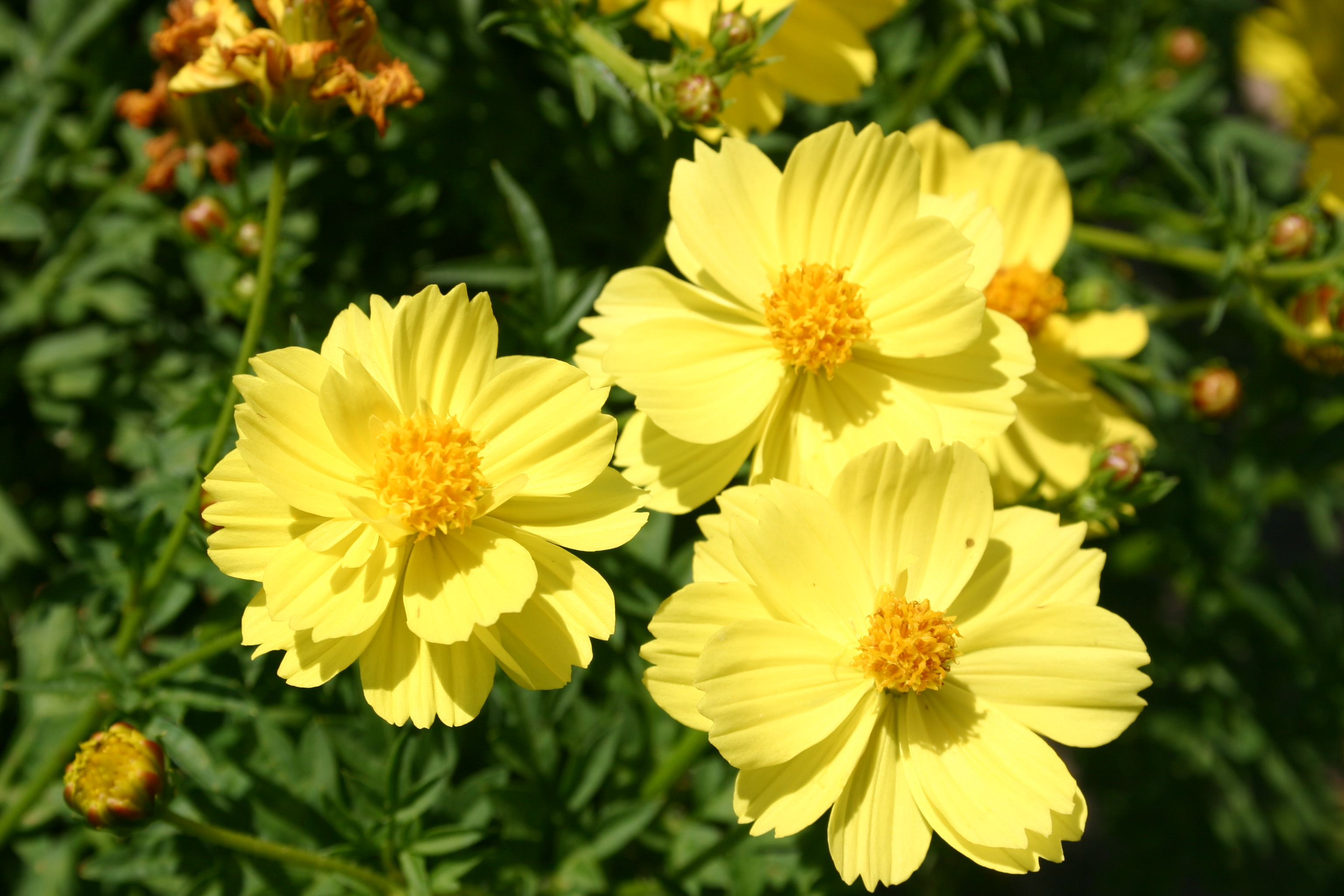 Cosmos sulphur dwarf lemon yellow oregon wholesale seed company cosmos sulphur dwarf lemon yellow mightylinksfo