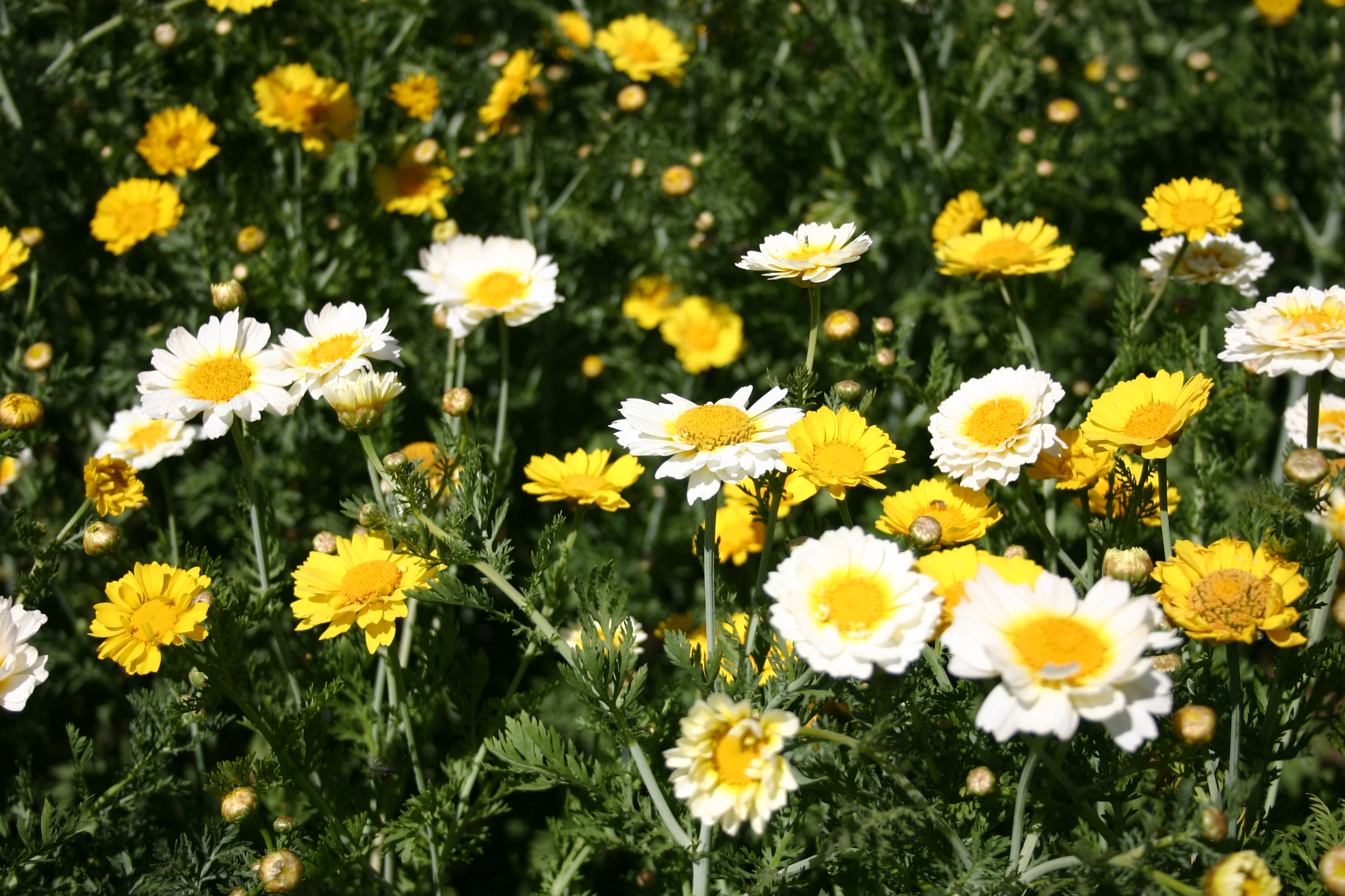 Daisy garland mix oregon wholesale seed company Where did daisies originate