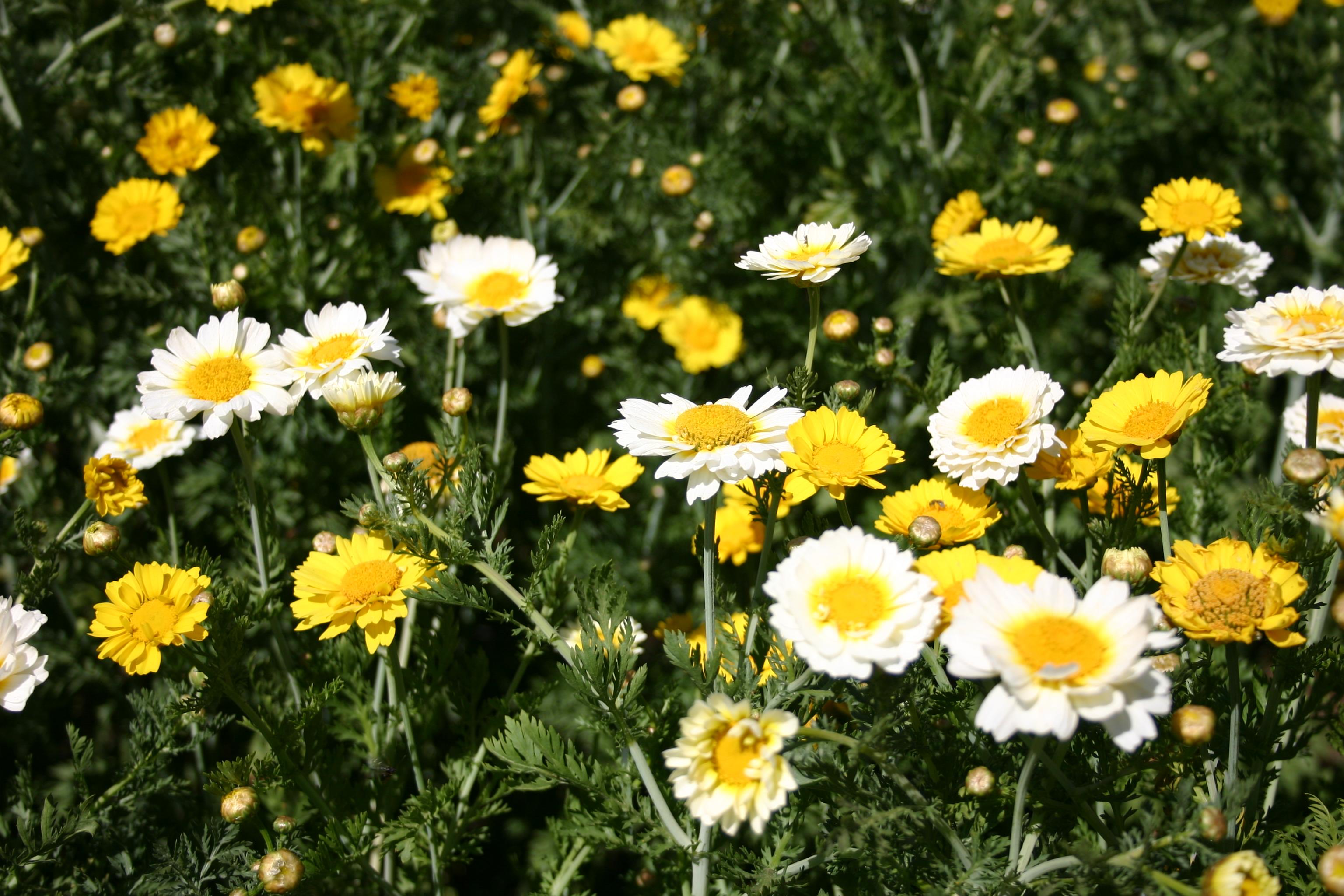 Daisy Garland Mix Oregon Wholesale Seed Company