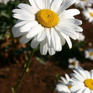 Daisy Shasta