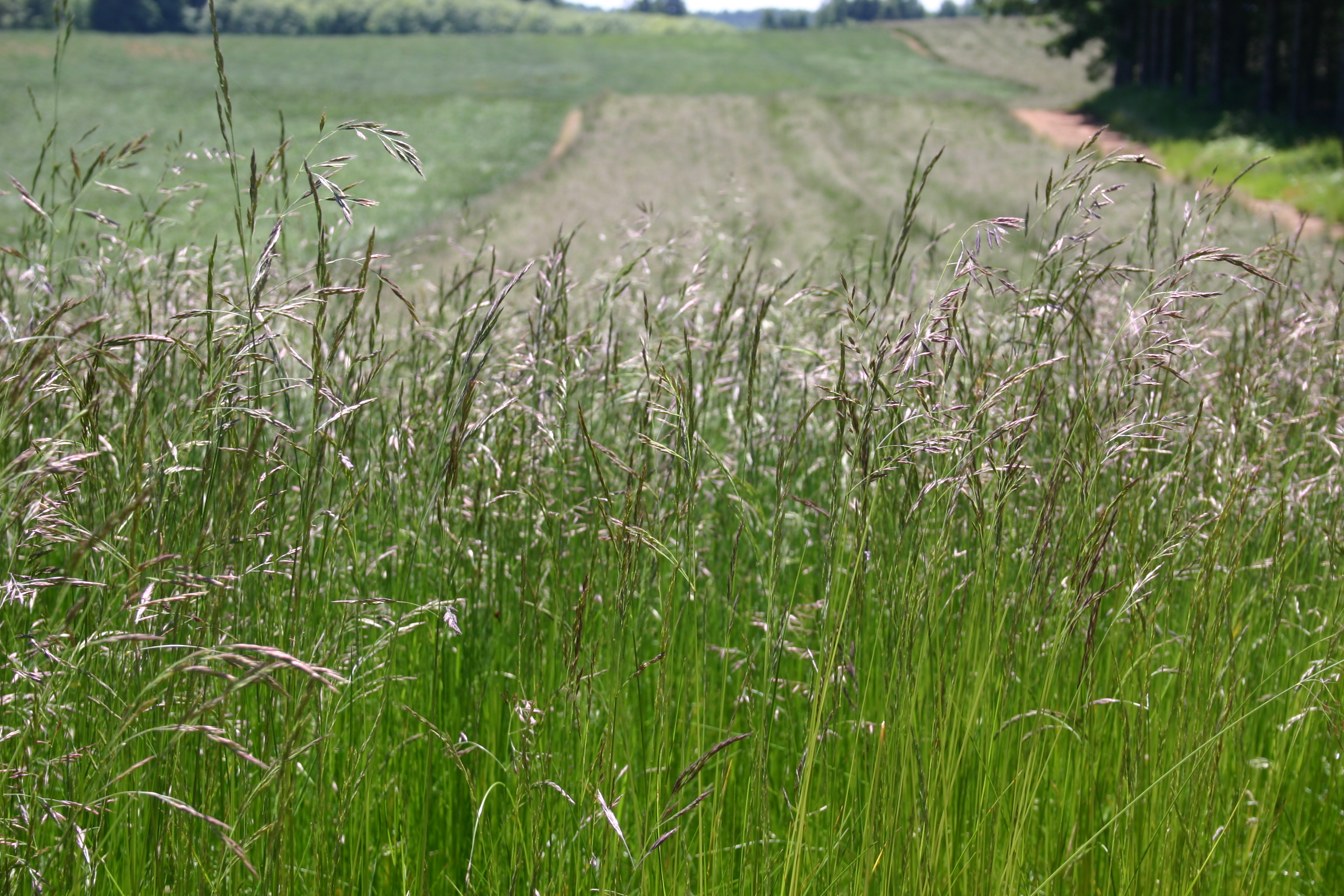 Fescue native red oregon wholesale seed company for Tall red grass