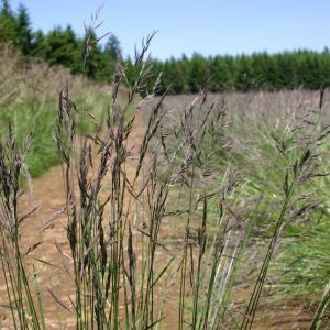 Fescue Roemer's