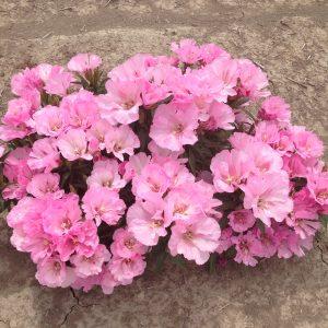 Godetia Maiden Blush Pink