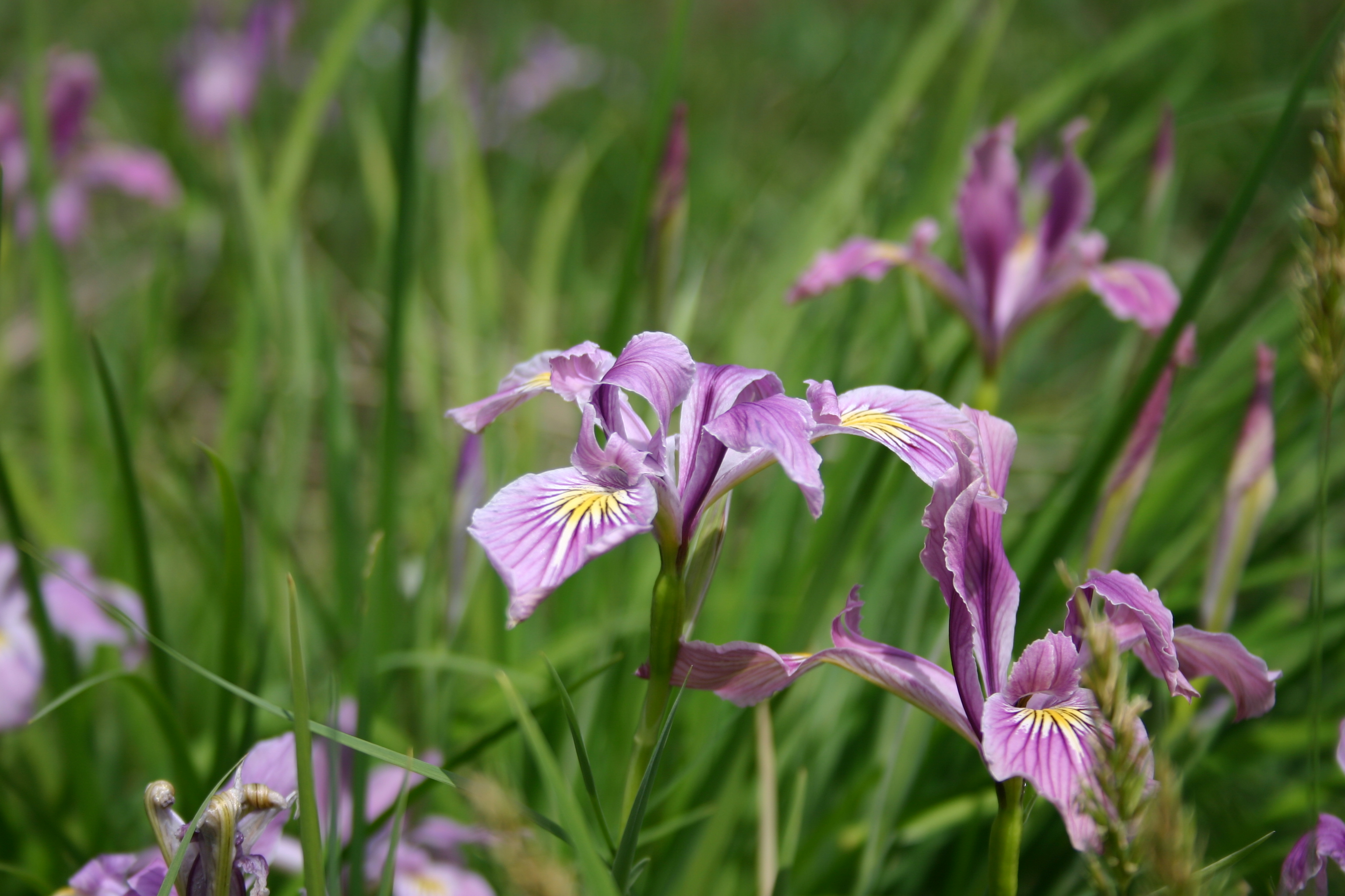 Iris oregon oregon wholesale seed company iris oregon izmirmasajfo