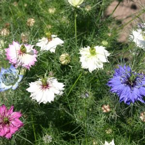 Love-in-a-Mist Mix
