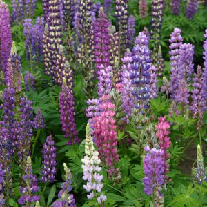 Lupine Russell Mix