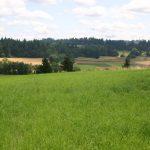 Orchardgrass