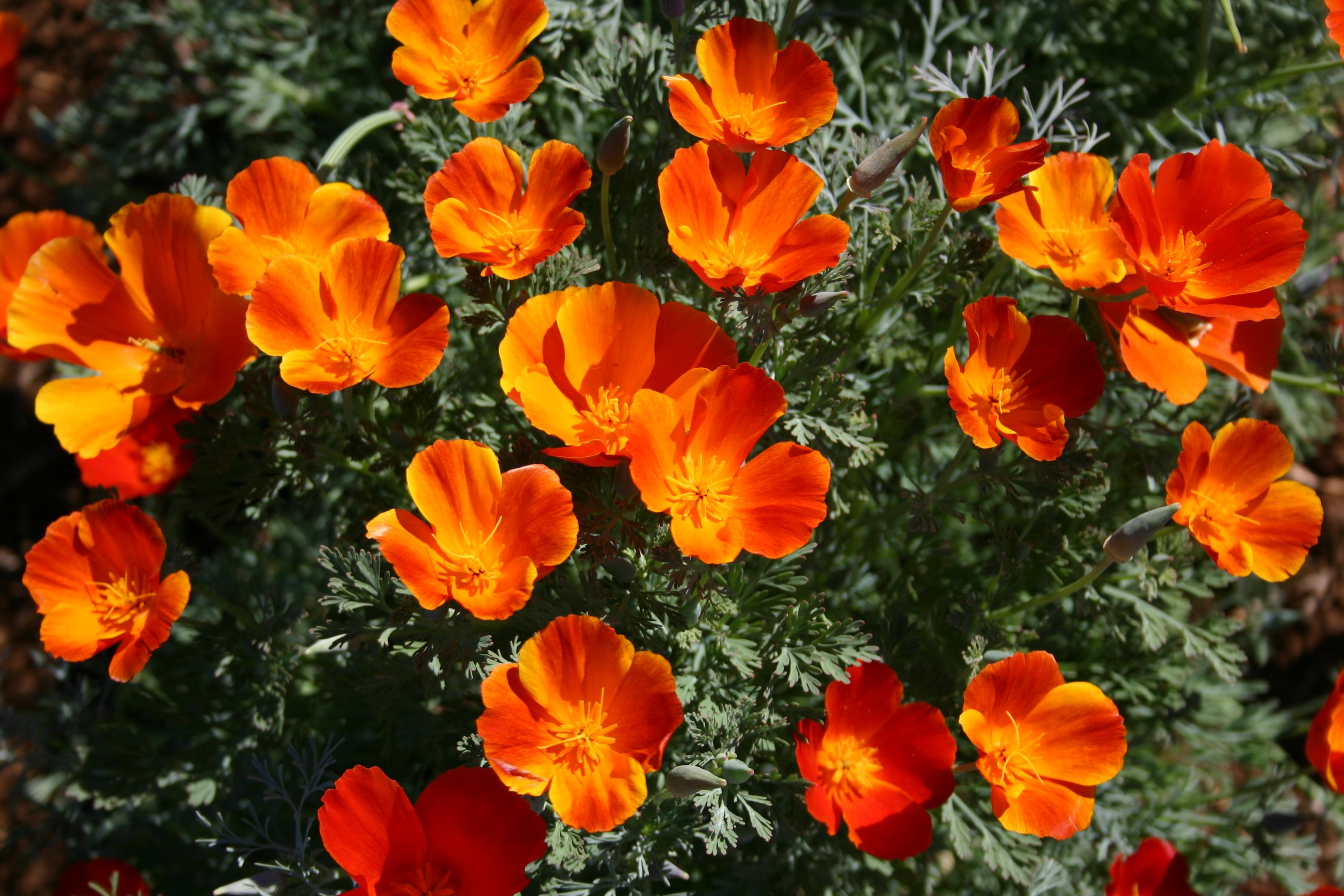 Poppy California Mikado Oregon Wholesale Seed Company