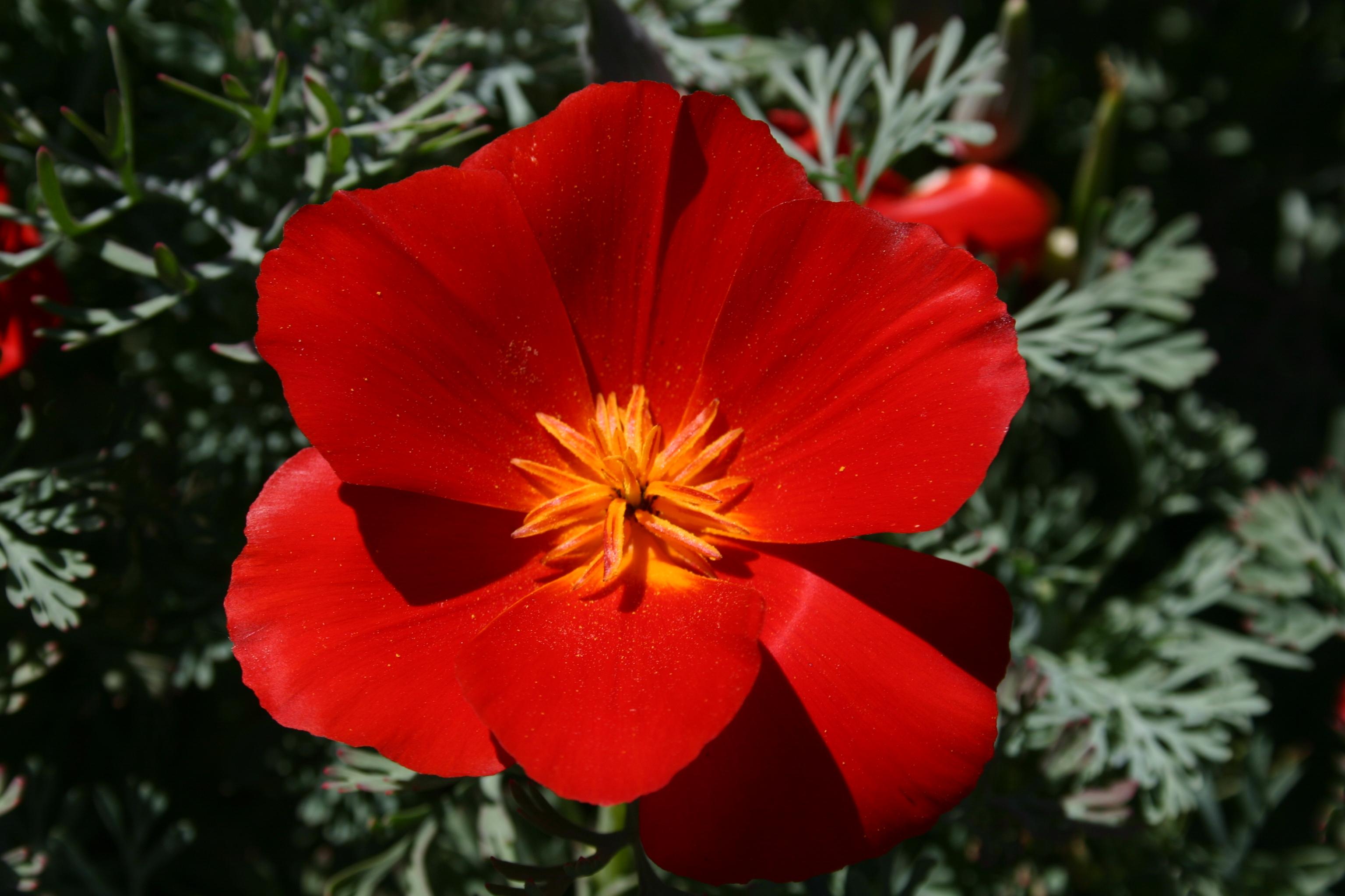 Poppy California Red Chief Oregon Wholesale Seed Company