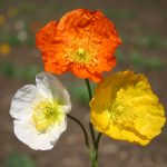 Poppy Iceland Champagne Mix