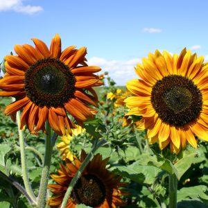 Sunflower Autumn Beauty