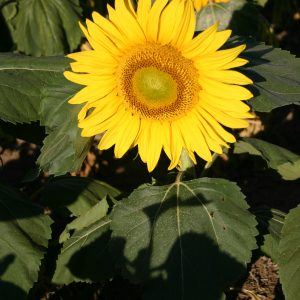 Sunflower Dwarf Sunspot
