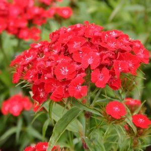 Sweet William Red