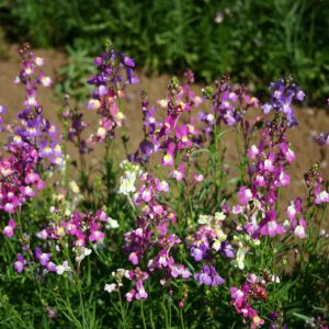 Toadflax Dwarf Fairy Bouquet Mix