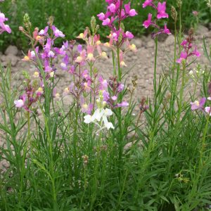 Toadflax Northern Lights Mix