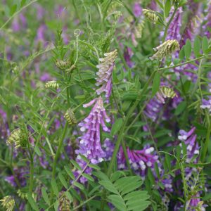 Vetch Hairy