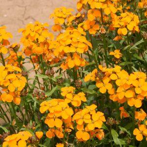 Wallflower Siberian