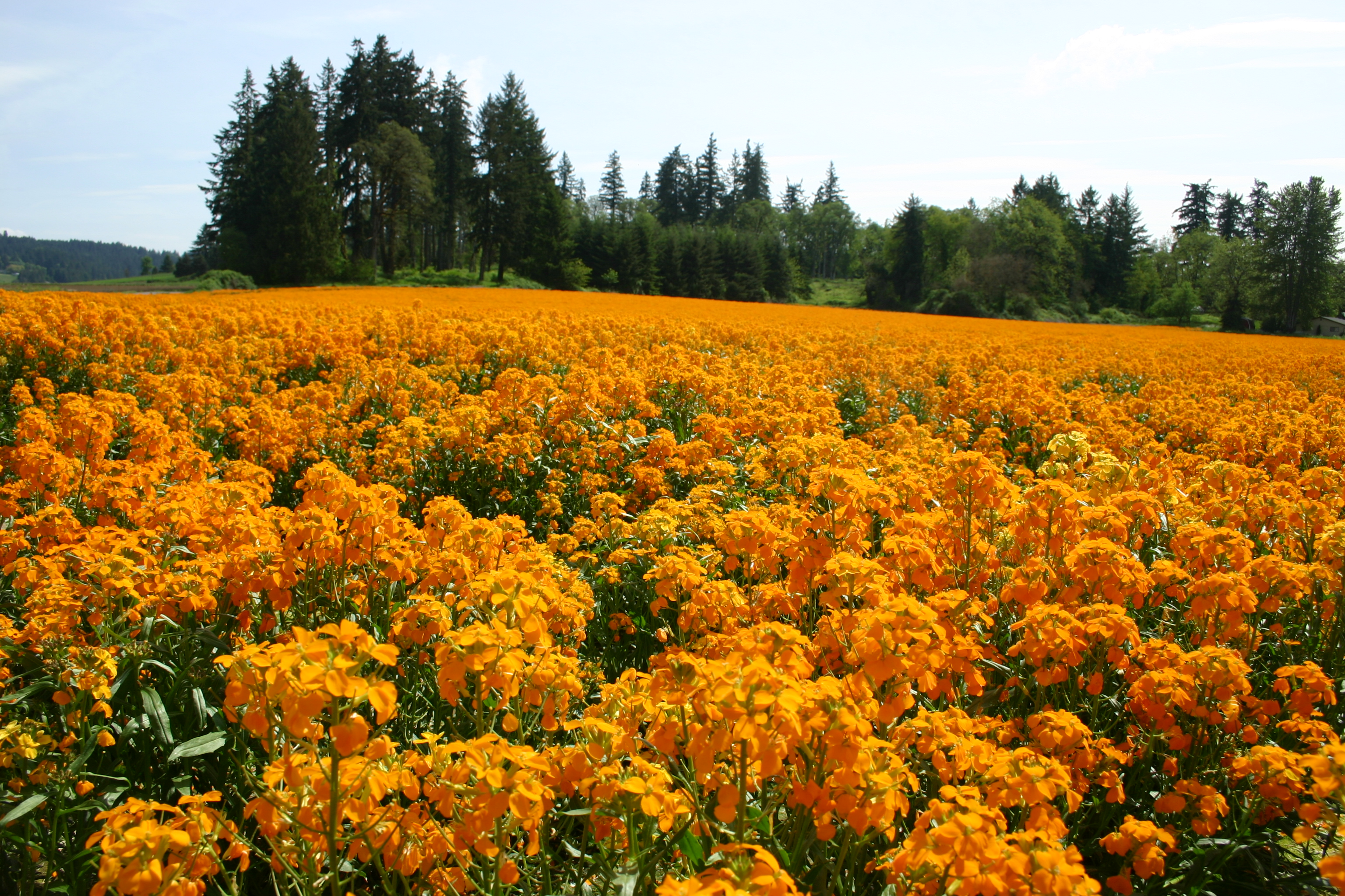 Wallflower Siberian Oregon Wholesale Seed pany