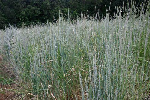 Wheatgrass Bluebunch