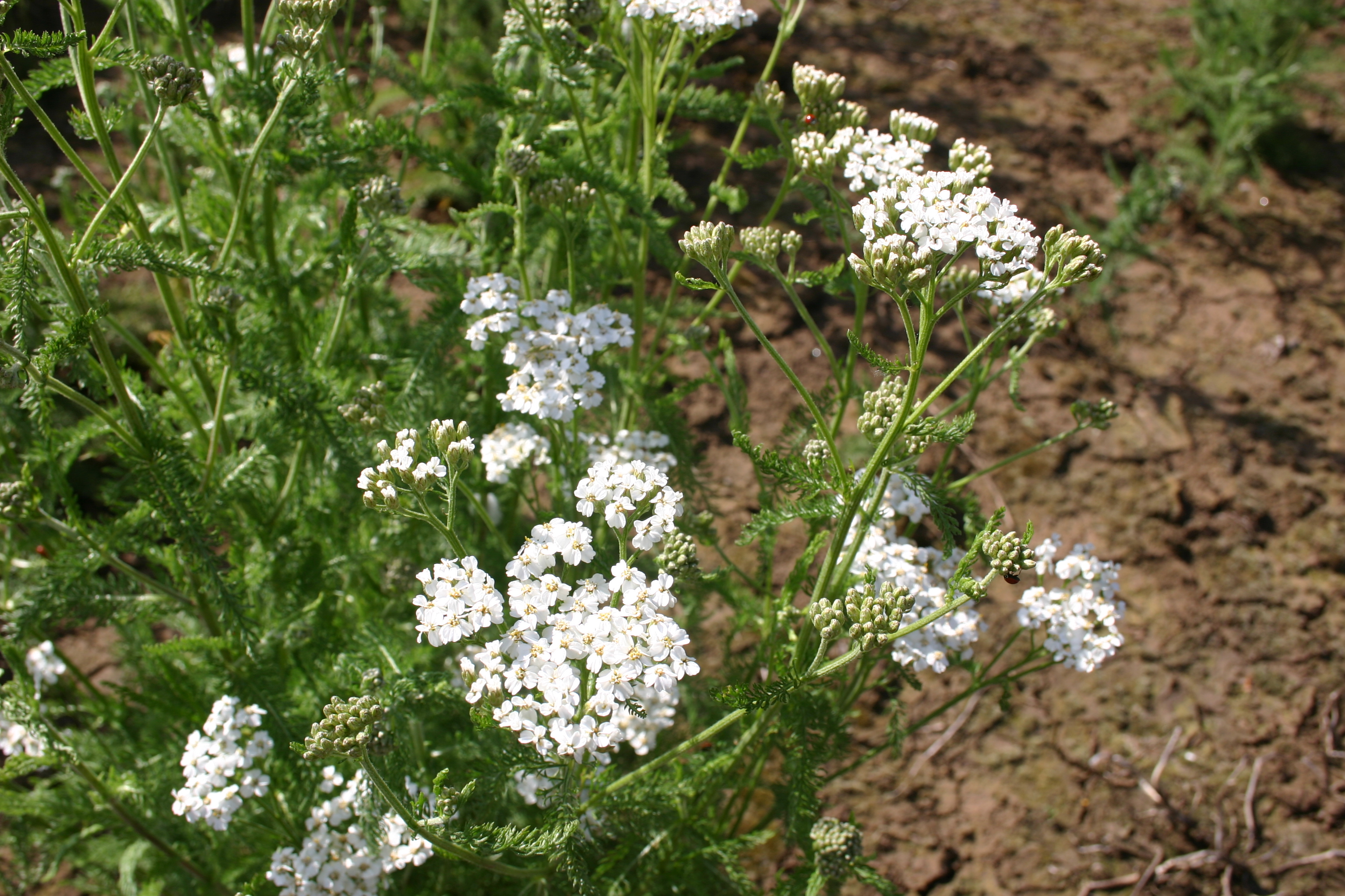 Yarrow Western Oregon Wholesale Seed Company