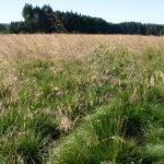 Hairgrass Tufted