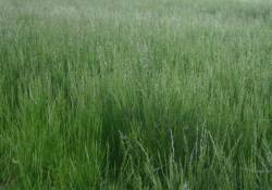 Tall Fescue Field