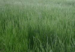 Tall Fescue Field