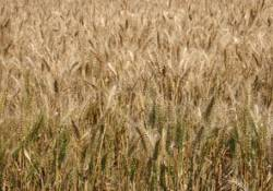Wheat Production Field